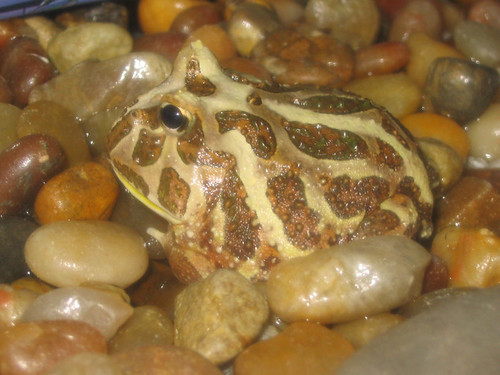 swimming american bullfrog, shown under GNU Free Documentation License