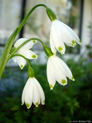 Mayflowers (Michael Rys) Tags: flowers 15fav 510fav nice bokeh lovely1 mygarden 110fav 111v1f 50v5f spring2006 abigfave impressedbeauty