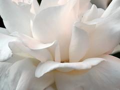 white (faraways) Tags: flowers white plant flower nature fleur rose turkey türkiye turkiye flor gül blume fiore beyaz turk çiçek çiçekler turkei ihsan цветок doğa interestingness372 arıtürk i500 ariturk explore14may06 iariturk faraways