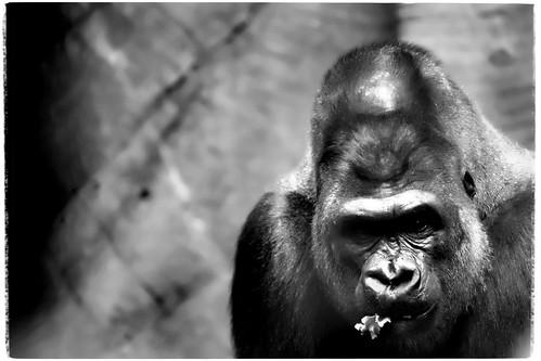 Gorilla in the Bronx