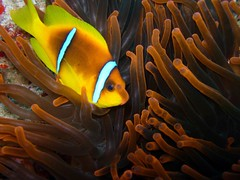 Pesce pagliaccio (Amphiprion bicinctus) (Key of Life) Tags: life africa red sea fish macro uw nature water coral digital mar photo nikon marine paradise mare underwater nemo little photos clown sub redsea dive egypt deep scuba diving el clownfish anemone coolpix 5200 aquatic biology rosso sheikh depth egitto anemonefish sharm pesce immersioni pagliaccio corallo naturalmente fotosub subacquea wetpixel keyoflife uderwater amphiprion bicinctus amphiprionbicinctus pescepagliaccio underwaterpics fondali twobandanemonefish fotosubacquee flickrphotoaward qemdfinchadminfaveformay naturewatcher coolestphotographers uderwaterphotos