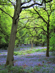 Bluebells in Nap Wood (MainlyCats) Tags: uk trees tree bluebells spring woods hdr 3xp tthdr pshdr pscla napwood