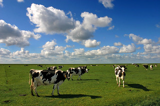 Schiermonnikoog island: cows in the polder
