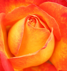 Orange & Yellow (wanderingnome) Tags: flowers 15fav rose explore venturacounty theworldthroughmyeyes thebiggestgroup ©wanderingnomez 409explorepage073006