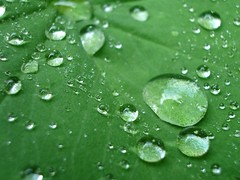 Lotus Green Leafs (icewide77) Tags: reflection green leaf drops lotus waterdrops leafs lotuseffect