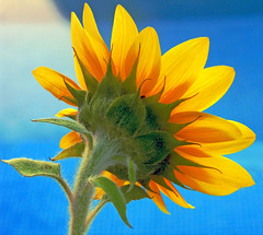 Summer  - EXPLORE (Micheo) Tags: blue summer water yellow azul arcoiris rainbow agua colours colores best explore amarillo sunflower verano getty ok girasol babel micheo colorphotoaward britishcolumbiaelectroniclibrarynetwork