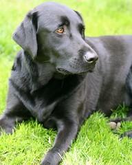 Happy Birthday Sierra! (Phil Romans) Tags: birthday dog pet black green grass canon 350d 50mm lab labrador sierra happybirthday k9