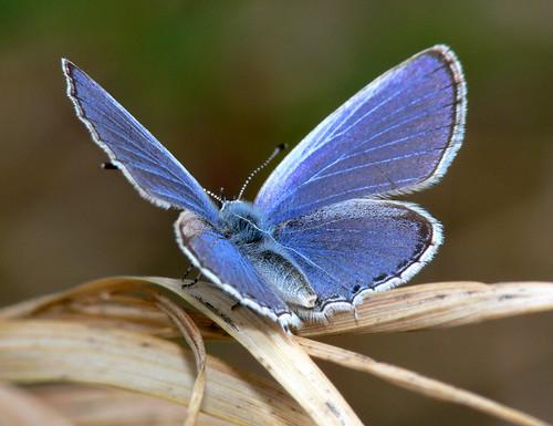 Lycaenidae-Butterfly