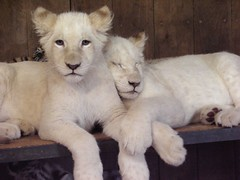Twosome (Captain Kidd) Tags: sleeping baby white cute nature animals zoo cub tiger lion adorable cubs whitetiger whitelion animalkingdomelite