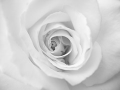 Vortex surfer (arte_molto_brutta_2) Tags: white flower rose