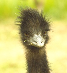199503 057 Emu (williewonker) Tags: farm central beak feather australia victoria emu kerang widlifeofaustralia fowlfeatheredfriends
