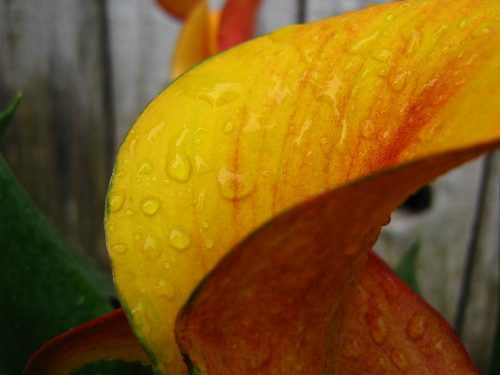Cali lily after spring rain