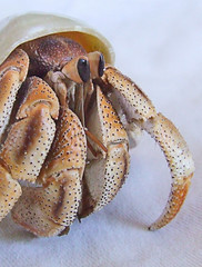 land hermit crab (Vanessa Pike-Russell) Tags: pets macro hermitcrabs nature closeup hermitcrab interesting vibrant australia finepix nsw land mostinteresting seashell fujifilm crabs popular upclose terrestrial crabby mollusc wollongong myfaves crustaceans landhermitcrab coenobita alhc s5600 views100 lilcrabbygal crabstreet crabbyphotos crabstreetjournal vanessapr mootrade vanessapikerussellcom vanessapikerussell