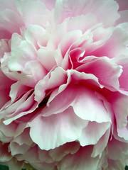 Light pink peony petals - by tanakawho