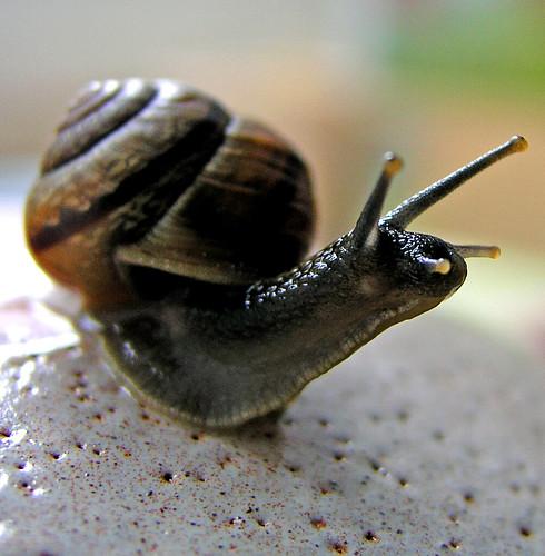 Alert garden-snail