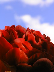 scarlet on blue skies (limowreck666) Tags: flower macro strange shop closeup weird miniature experimental close little head unique small experiment peony audrey tiny bud mad mental macrophoto horrors flowerhead macrophotography littleshopofhorrors audreyii lovephotography limowreck666