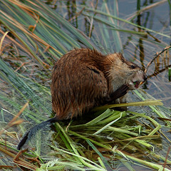 That's it, that's the spot!! (FlowrBx) Tags: reeds pond wetlands muskrat itch flowrbx specnature
