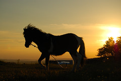 Sherburn Hill Pony (Langley Monkey) Tags: sunset horse silhouette pony tethered countydurham tether sherburnhill