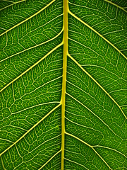 bo tree (*omnia*) Tags: macro green topv111 backlight leaf fig ficus bo botree pipal peepal sacredfig ficusreligiosa