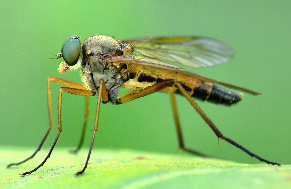 Snipe Fly -  Rhagio tringarius