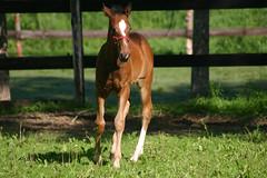 Dia Anglic Jolie (ecuriesdiabolo) Tags: horse cheval chevaux poulain pouliche
