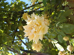 Roses (ecinparis) Tags: france lyon rhnealps