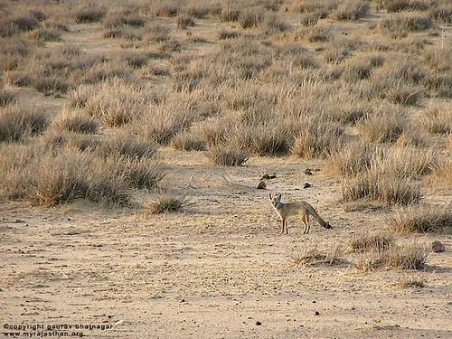 Indian Fox (Vulpes bengalensis)