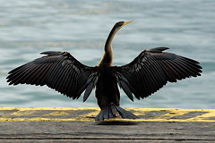 Anhinga (jamesblah) Tags: bird wings anhinga judgmentday54