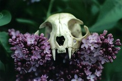 Carnivore Conundrum (yerffej9) Tags: original flower film nature topv111 contrast cat skull interestingness funny dof unitedstates quality surrealism teeth creative explore lilac northamerica fangs juxtaposition allegory interestingness402 yerffej9 jeffrozema