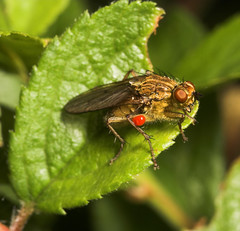 """Dung Fly with a velvet mite • <a style=""""font-size:0.8em;"""" href=""""http://www.flickr.com/photos/57024565@N00/168218595/"""" target=""""_blank"""">View on Flickr</a>"""