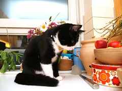 How to get the cookies ??!? (Dr. Hemmert) Tags: pet cats black cute animal cat kitten sweet kitty artemis toxedo blackmasked