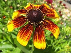 First Rudbeckia for the Year (joeysplanting) Tags: rudbeckia