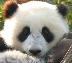 Close up of baby panda Su Lin. (kjdrill) Tags: china california bear baby cute topf25 face station animal wow giant zoo cub panda sandiego bears chinese research memory fv10 giantpanda topf100 colbert pandas opinion permanent stevencolbert oldglory endangeredspecies stephencolbert babyanimal sdzoo sulin ailuropodamelanoleuca 100faves scomp fcawinner world100f vosplusbellesphotos