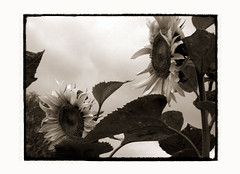 sunflower-elegy [08] (elfis gallery) Tags: life flowers summer blackandwhite bw plants white plant black flower love nature monochrome sepia death grey flora time decay vanity philosophy sunflowers morbid sunflower melancholy schwarzweiss weiss schwarz sonnenblume elegy todolist vanishingbeauty summerends scharzweiss graustufen photophilosophy schwarzundweiss bilderfantasien elegical sunflowerelegy