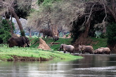 Crossings (Michael Poliza) Tags: africa elephant nature forest river crossing wildlife safari zimbabwe afrika elephants herd zambeziriver africabook chikwenyaforest