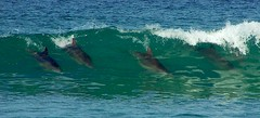 Surfing Dolphins (Earlette) Tags: ocean colour swimming ilovenature waves 2006 surfing dolphins fins fcwatermovement tbgc13