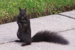 Who....Me? (makeupanid) Tags: street baby black cute squirrel cement lawn paws blacksquirrel commentonmycuteness theworldthroughmyeyes animaladdiction