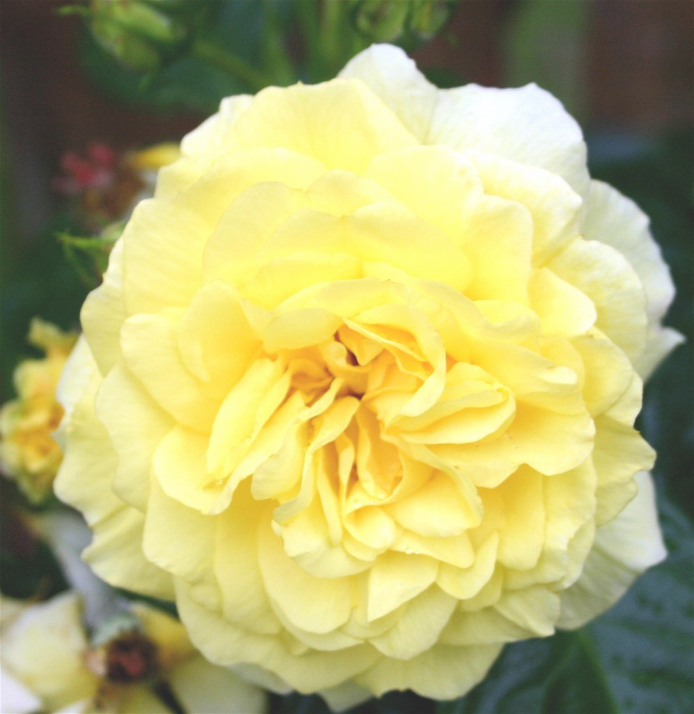 The Yellow Rose of Saltcoats