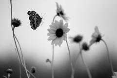 landing (slight clutter) Tags: blackandwhite bw flower nature animal horizontal fauna butterfly insect wings flora texas wildlife bolivar landing iloveflickr topf100 1500 gulfcoast bolivarpeninsula slightclutter utatafeature katyahorner slightclutterphotography