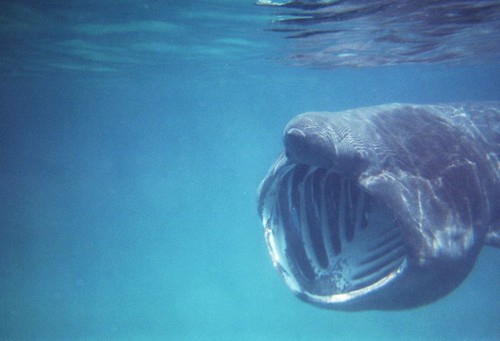 Basking Shark with Mouth Wide Open in Cornwall, England