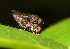 """Mating Flies(6) • <a style=""""font-size:0.8em;"""" href=""""http://www.flickr.com/photos/57024565@N00/187991681/"""" target=""""_blank"""">View on Flickr</a>"""