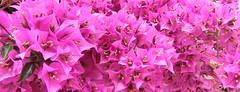 Spanish Bougainvillea - 3 (Papa Razzi1) Tags: flowers summer spain bougainvillea torrevieja