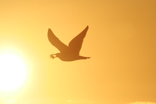Kelp Gull with mussel, sunset