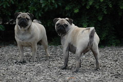 Gravel and dogs (gazcook) Tags: dog green dogs garden brothers pug pugs gravel