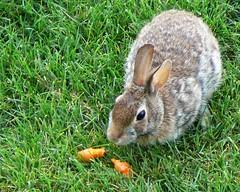 Backyard Bunny (~Sage~) Tags: bunnies backyard sage top20nature rabbits hares animalkingdomelite aksubjectmatternativeanimal
