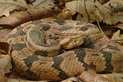 Timber rattlesnake  0277 (Eric Wengert Photography) Tags: timber snake rattlesnake crotalus horridus assignment19