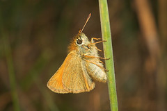 """Small Skipper Butterfly (thymelicus s(6) • <a style=""""font-size:0.8em;"""" href=""""http://www.flickr.com/photos/57024565@N00/192579076/"""" target=""""_blank"""">View on Flickr</a>"""