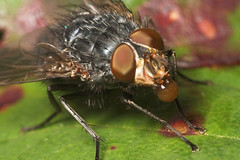 "Fly Macro • <a style=""font-size:0.8em;"" href=""http://www.flickr.com/photos/57024565@N00/248936179/"" target=""_blank"">View on Flickr</a>"