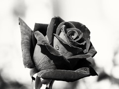 Black Rose (lgebelin) Tags: black rose blackrose sad bw blackandwhite noir mono monochromatic monochrome flower flowers roses sadness gothic ireland garden powerscourt powerscourtgardens plant plants wetplant wetflower wetrose drops