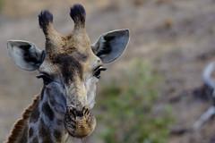 Roadtrip South Aftrica (Sebastian Meier) Tags: 2016 safari südafrika